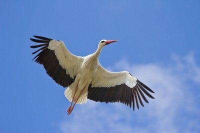 Bocian biały - holenderskie ptaki