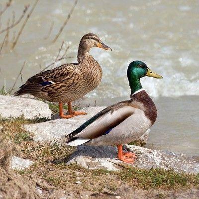 Kaczka krzyżowka - ptaki holenderskie